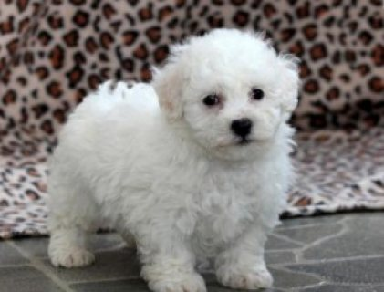 Wonderful Bichon Frise Puppies available for good home..,.,.,.,
