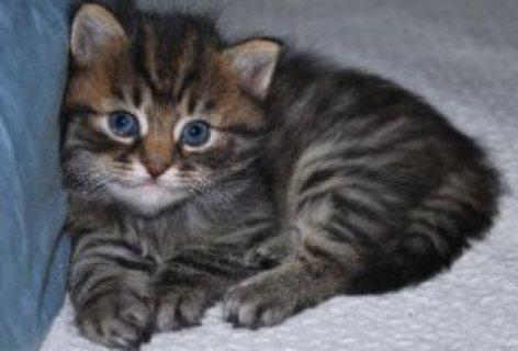 siberian kittens for sale.,.,..,.,/
