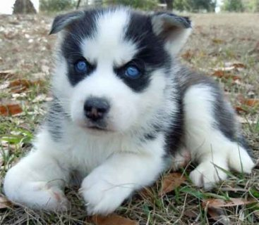 Guard AKC Siberian Husky puppies for adoption