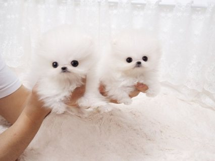 Tiniest male and female mini Pomeranian babies available