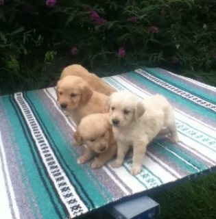 Lovely Male and Female Golden Retriever puppies for sale