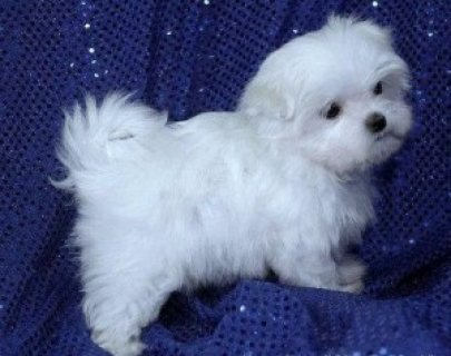 صور Charming male and female Maltese Puppies For Sale 1