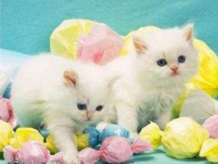 white Persian kittens available for a good home/..//...