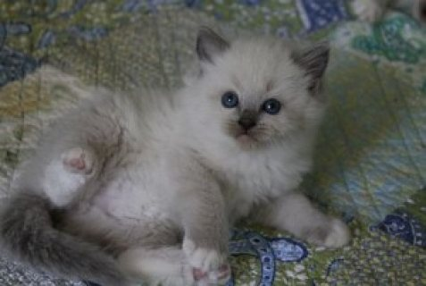 Two male and female Rogdoll Kittens for sale