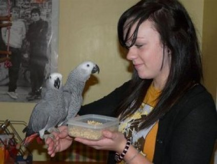 Sweet male and female African Grey Parrots for sale ...