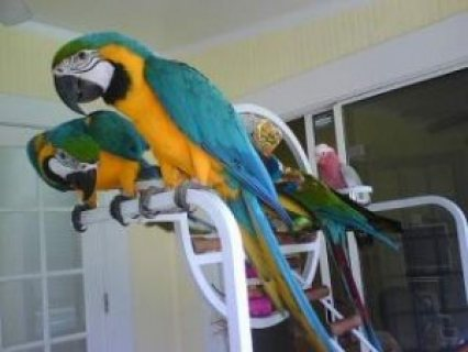 Lovely Hyacinth Macaws Parrots for Sale.....