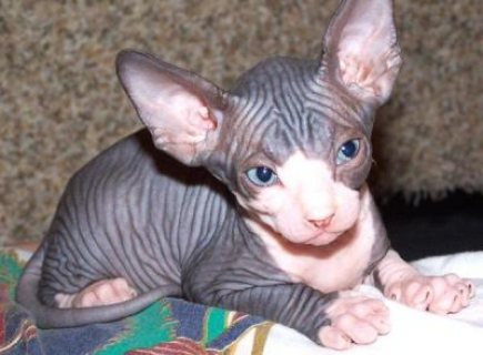 Healthy M/F Sphynx Kittens Ready Now