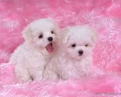 Maltesse puppies
