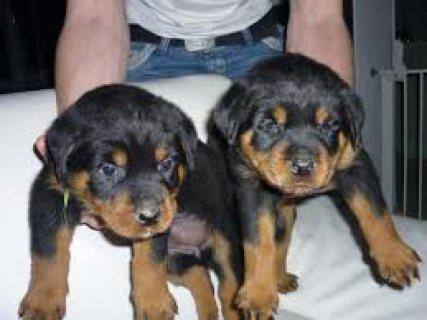 Sweet & playful Rottweiler for adoption