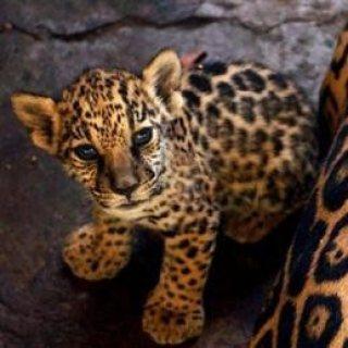 lion, tiger and jaguacubs for sale
