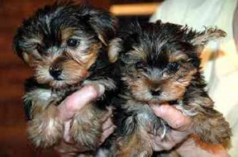 Tinny Yorkie Puppies for Adoption