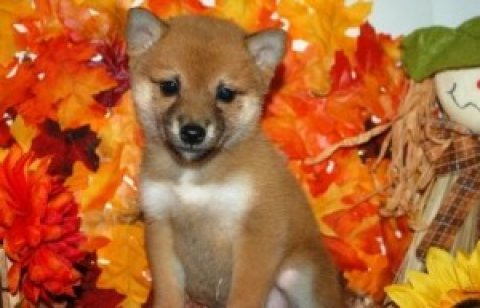 Romantic Shiba Inu Puppies