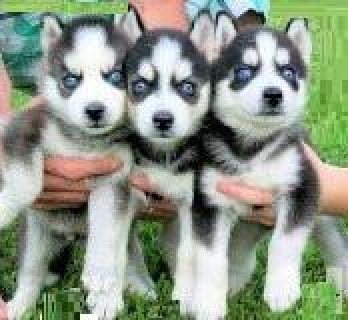 صور One male and two female Siberian Husky puppies for  1
