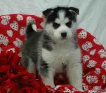 ****Siberian husky puppies desperate to meet a new home*****