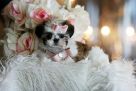 males and female,Shih Tzu Puppies