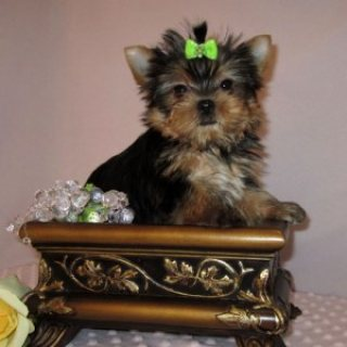 Our pedigree yorkie puppies for free adoption.