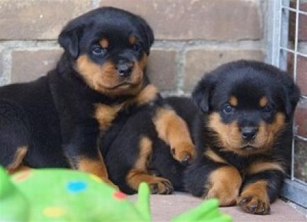 Rotties Puppies