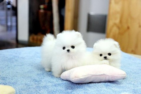 Tiny Teacup White Pomeranian pups, Male & Female
