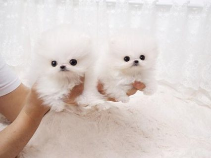 Adorable home raised Pomeranian puppies