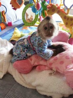 Adopt a Capuchin and marmoset monkey
