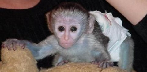 Adorable Capuchin,Marmoset and Squirrel Monkeys for Adoption