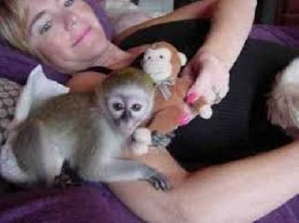 Lovely White Face Baby Capuchin Monkeys For Adoption