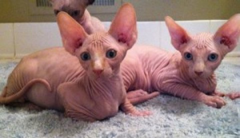 Canadian Sphynx Kittens - Available!!!