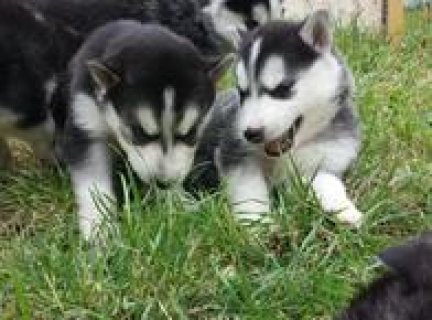صور Health certificate, Siberian Husky puppies for adoption 1
