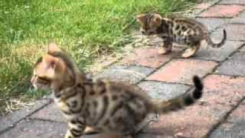 GOOD LOOKING BENGAL KITTENS FOR SALE