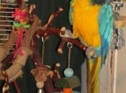 Male and Female Blue and Gold Macaw With Cage