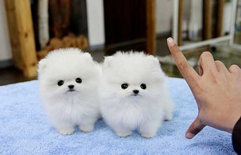 Geous quality pure Pomeranian puppies