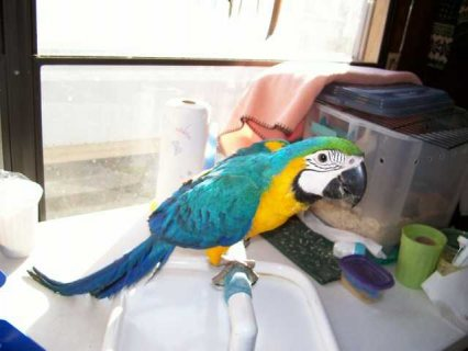 sevf Blue And Gold Macaw