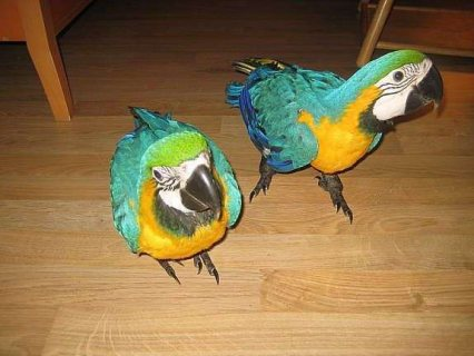 Helful Blue and gold macaw Parrots ..