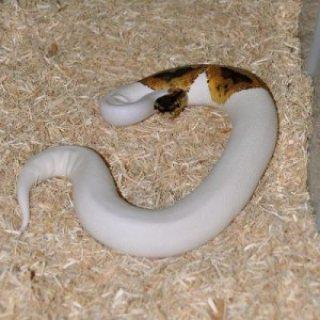 albino and piebald python for adoption