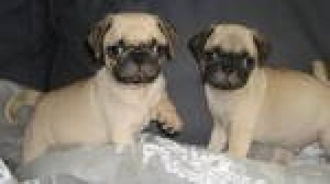 lovely male and female Pug puppies