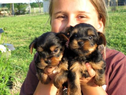 Beautiful Yorkshire Puppies looking for good homes