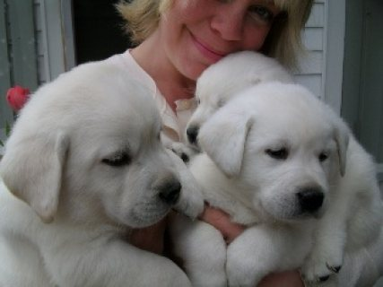 Beautiful Labrador Retriever Puppies