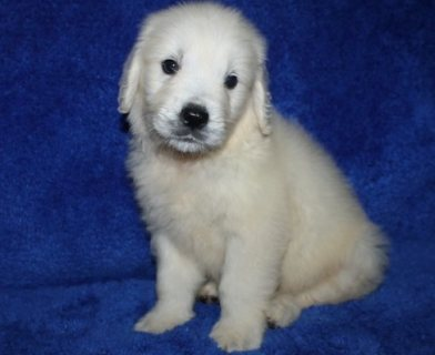 lovely,socialzed male and female Golden Retriever puppies