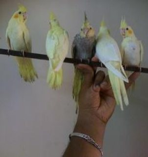 Hand Tamed Cockatiels for sale