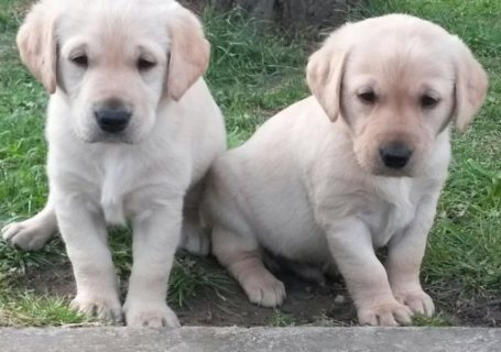 Good looking Stunning Chunky Golden Labradors