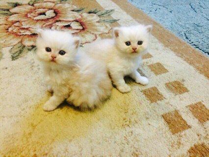 champion bred Persian kitten.