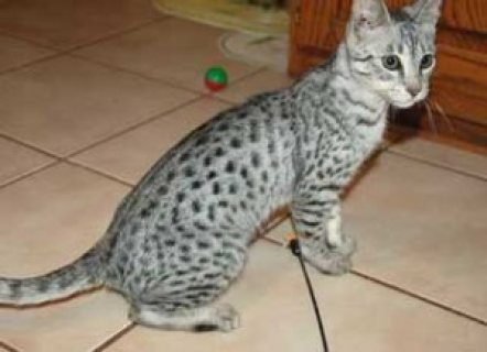 Male and female Savannah Kittens for sale