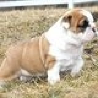 male and female English bull dog for sale