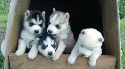 صور Good looking Sweet and wonderful Siberian husky puppies 1