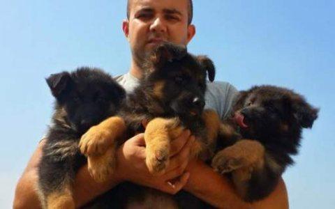 Good looking german shepherd puppies %100 best puppies in the mi