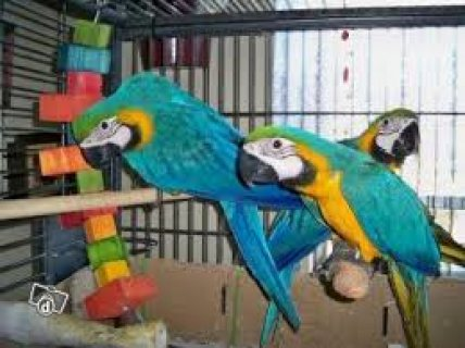 Blue and Gold Macaw Parrots For Sale/.././