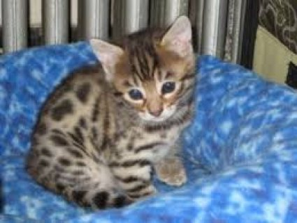 Sweet Male And Female Bengal Kitten For Sale....