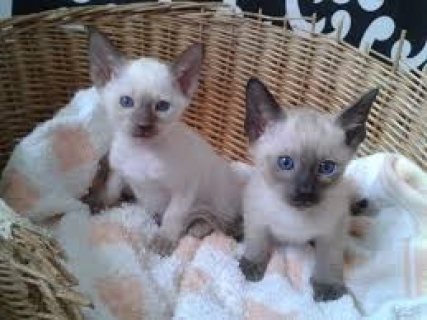 Cute Male And Female Siamese Kittens Ready for sale....