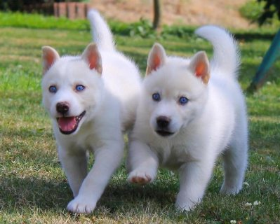 Gorgeous Blue Eyed Siberian husky puppies For Sale