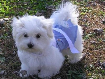 Wonderful Lovely Maltese Puppies for Sale